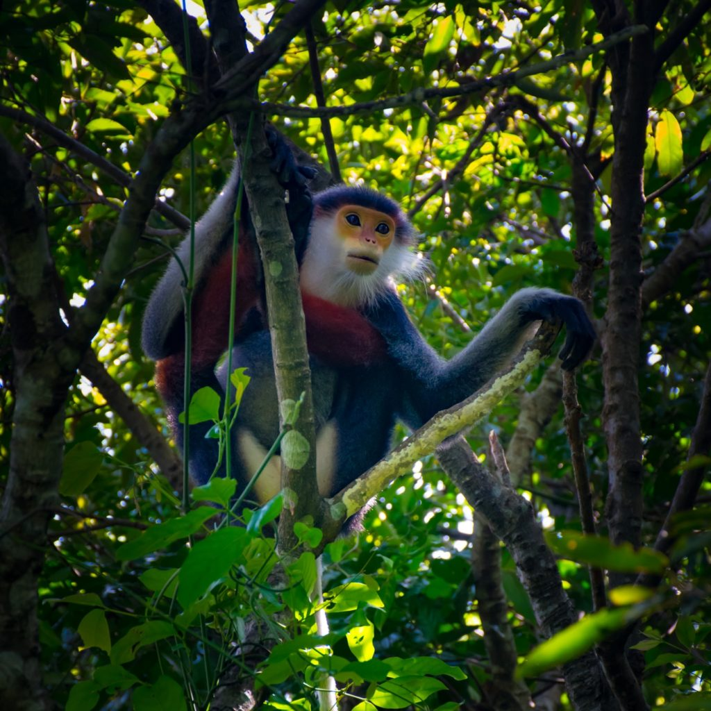 Red-Shanked Douc Monkey