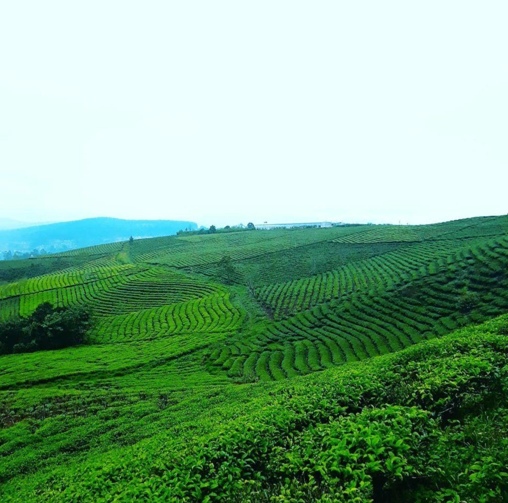 Cau Dat Tea Fields