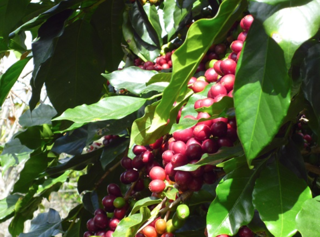 Coffee Plant Buon Ma Thuot