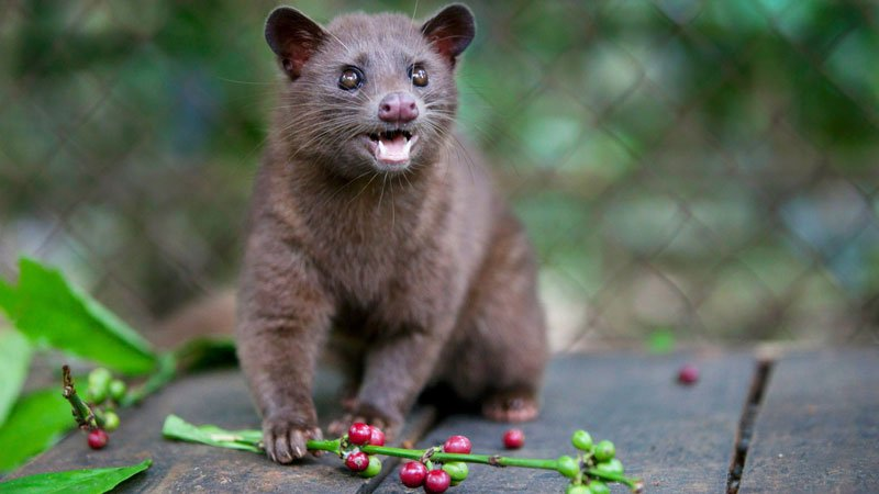 Weasel and coffee beans